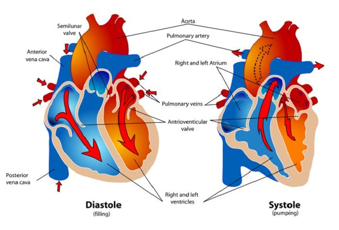عملکرد دریجه های قلب هنگام تپش